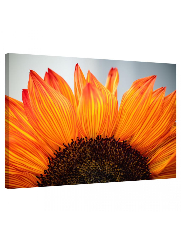 Sunflower_SNF341_0