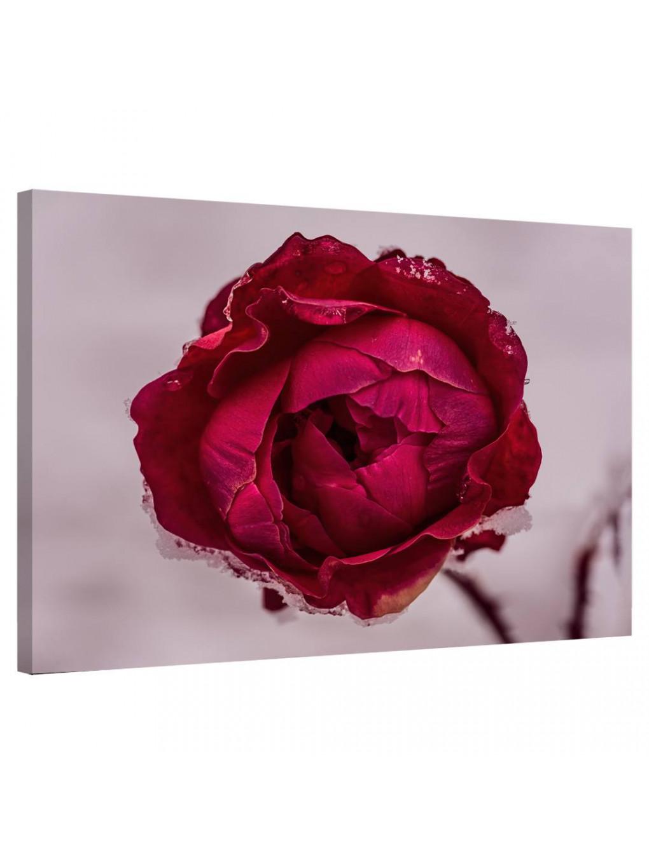 Frozen Rose_FRZRS343_0