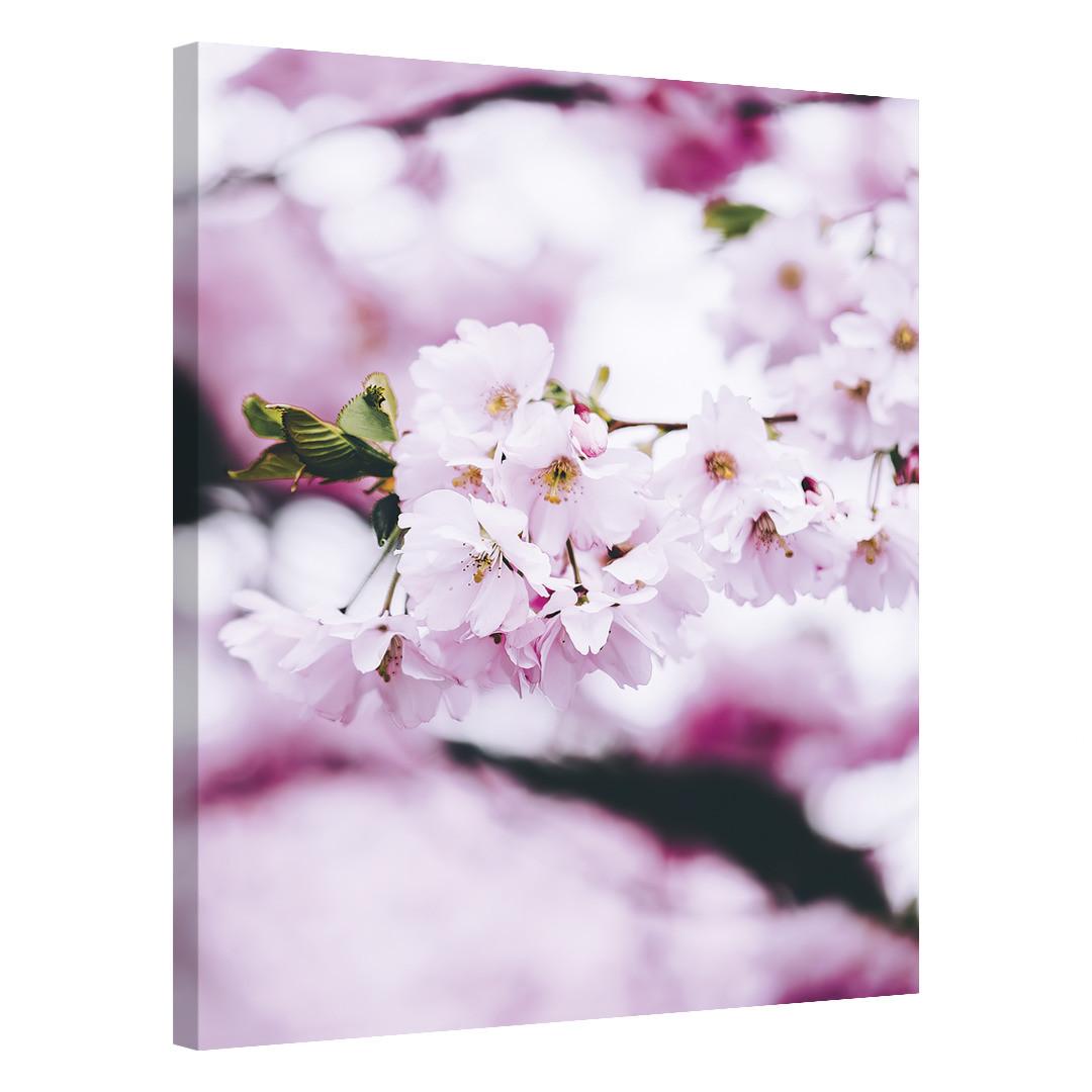 Cherry Blossom Spring_CBS497_0